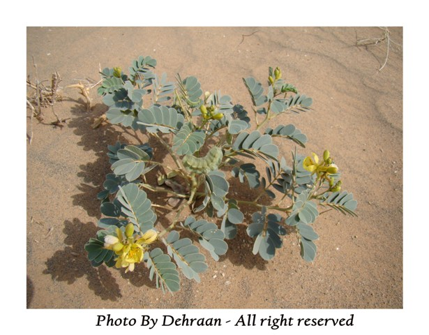 نبات العشرق ( السنا )+نبتة الداتورا السامة (بالصور) mk17809_alsana (3).jpg