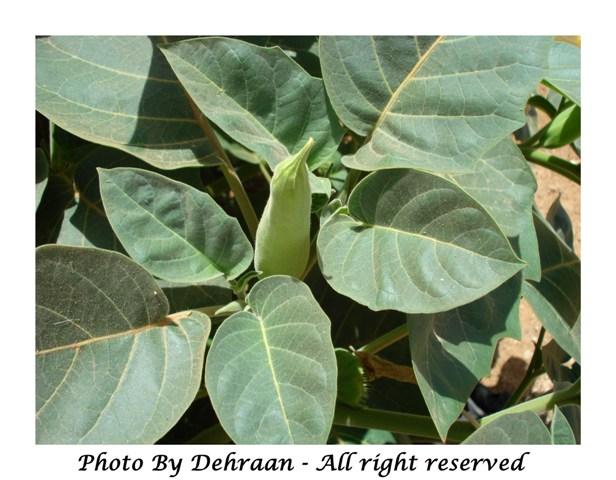 نبات العشرق ( السنا )+نبتة الداتورا السامة (بالصور) mk17809_dattoora (3).jpg