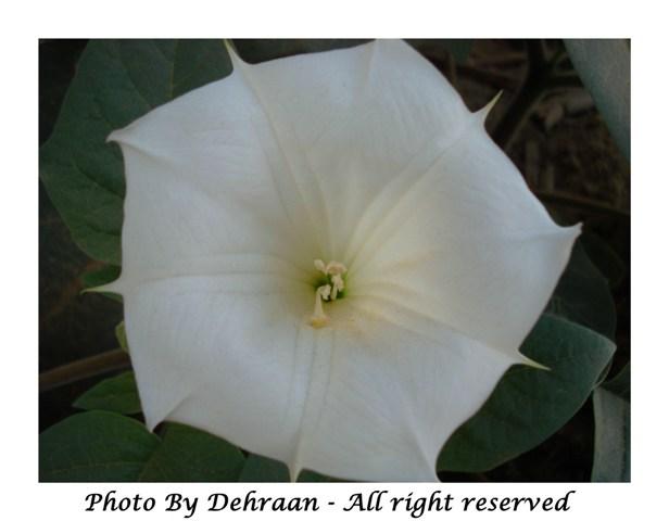 نبات العشرق ( السنا )+نبتة الداتورا السامة (بالصور) mk17809_dattoora (4).jpg