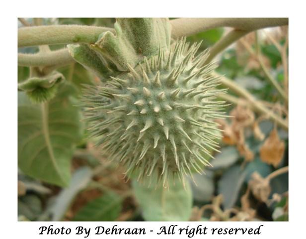 نبات العشرق ( السنا )+نبتة الداتورا السامة (بالصور) mk17809_dattoora (6).jpg