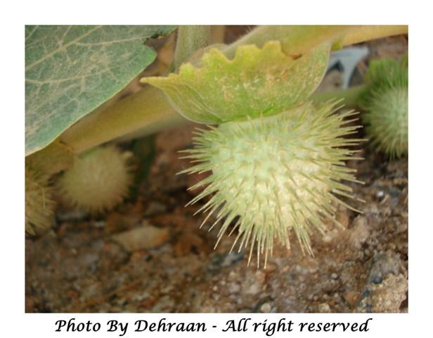 نبات العشرق ( السنا )+نبتة الداتورا السامة (بالصور) mk17809_dattoora (7).jpg