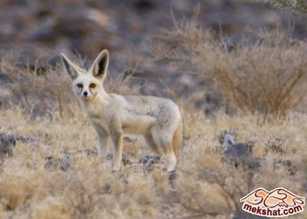فقرة صورة ومعلومات حيوان ثعلب الصحراء (الفنك) mk42658_76.jpg