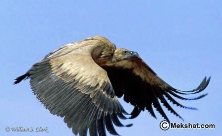 حديقة حيوانات المركز الدولى  - صفحة 2 Mk89556_vulture