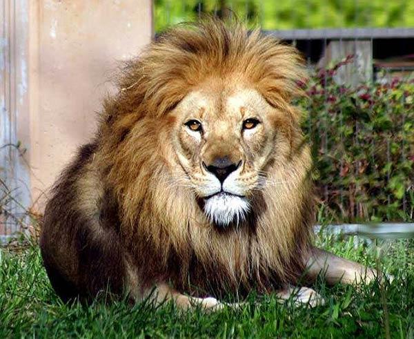 الاسماء الحيوانات mk11866_african-lion