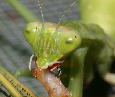 فرس النبي أو السرعوف mantis من الحشرات ،