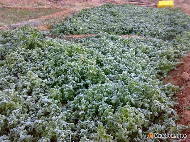 البرديقضي المزروعات وجدة أمطار غزيرة