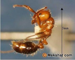 النمل الاحمر ومعلومات